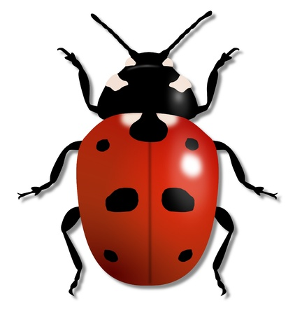 specimen: Illustration of a large Ladybird isolated on white Stock Photo