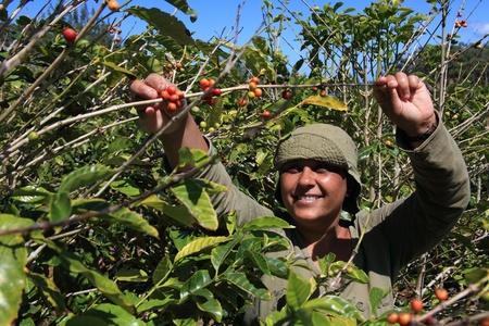 arbol de cafe: Sonriente mujer caf� de recolecci�n en un d�a soleado