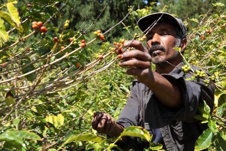 Agricultores de Santa Helena caf� recoger frijoles cerezas maduras Foto de archivo