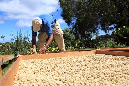 Farmer drying coffee beans in the sun Stock Photo