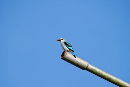 Woodland kingfisher (Halcyon senegalensis) perched on a metal post