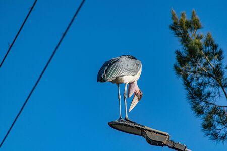 Marabou stork (Leptoptilos crumenifer) standing on a street light