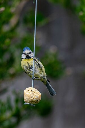 Urban wildlife with a bluetit (cyanistes caeruleus) perched on a garden feeder