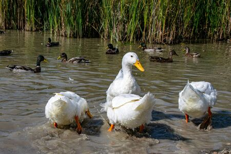 Rear feathers of white pekin ducks (also known as aylesbury or long island ducks) in summer Stok Fotoğraf