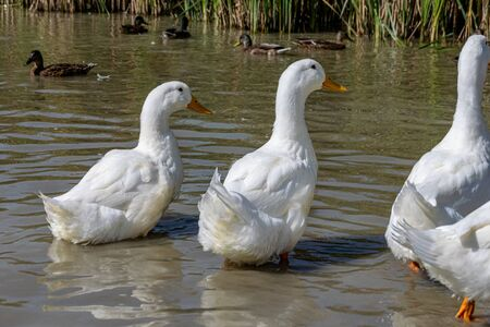 Rear of white pekin ducks (also known as aylesbury or long island ducks) in summer