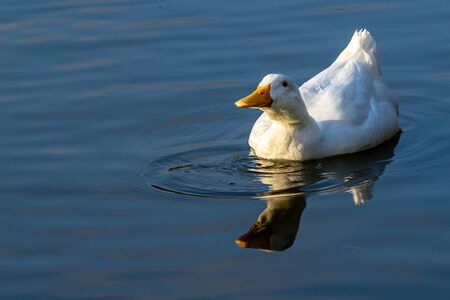 White pekin ducks swimming on still calm lake at sunset twilight Stok Fotoğraf