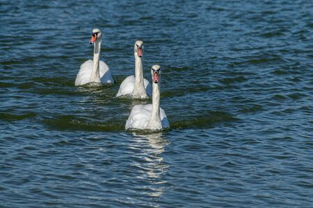 Adult mute swans swimming across the River Crouch from South Woodham Ferrers to Hullbridge, Essex, UK Stock Photo