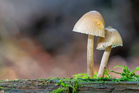 Bell shaped fungi (mycena) growing on moss covered dead tree branch trunk Stok Fotoğraf