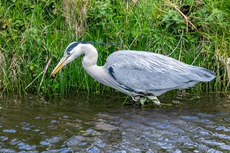 Grey heron (Ardea cinerea) hunting a common newt (Lissotriton vulgaris) in shallow river water Standard-Bild