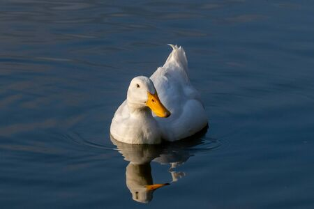 White Pekin Duck swimming on a still calm lake with reflection