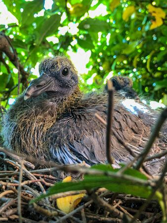 Fledgling wood pigeon perched on bird nest