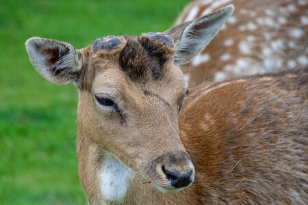 Velvet covering as new antlers grow on young fallow deer Stock Photo