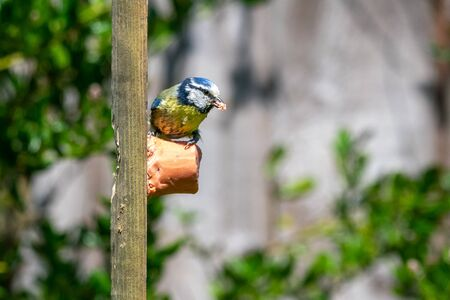 Urban wildlife with a bluetit (cyanistes caeruleus) perched and feeding off a garden suet bird feeder