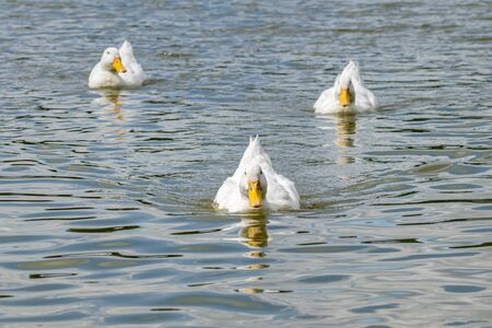 White pekin ducks swimming towards the camera