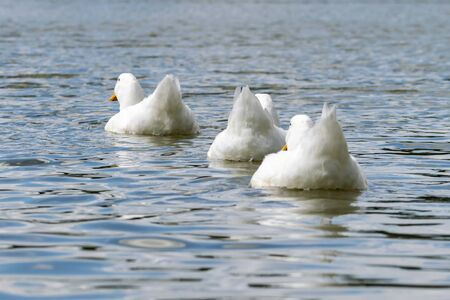 White pekin ducks swimming away from the camera