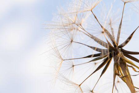 Partially dispersed dandelion clock seed head Stockfoto