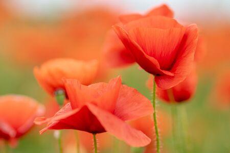 Vibrant red poppy field