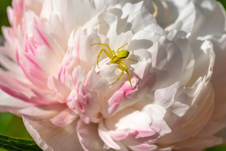 Yellow crab spider on chrysanthemum flower