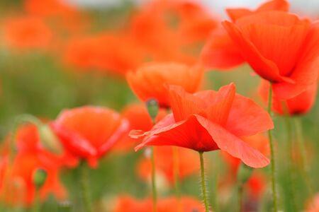 Field of wild poppy flowers