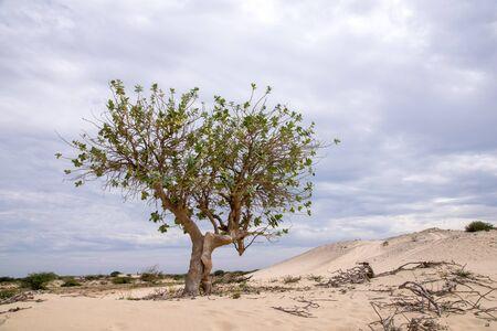 Single tree on the edge of the Viana Desert, Boa Vista, Cape Verde