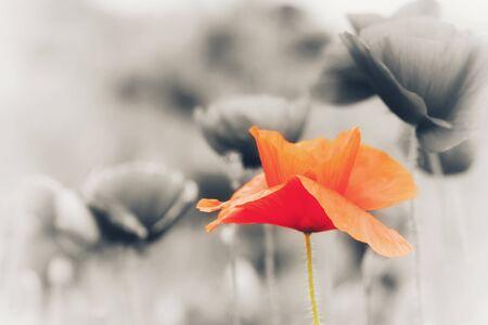 Isolated single red poppy flower