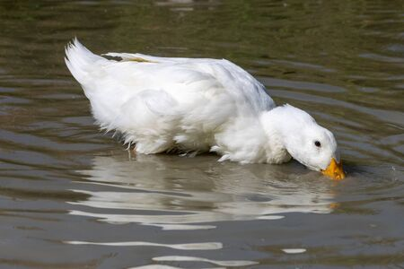 White pekin ducks (also known as aylesbury or long island ducks) in summer Stok Fotoğraf