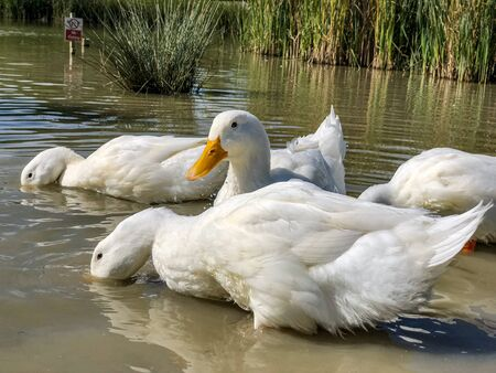 Heavy white Long Island Pekin Ducks searching for food