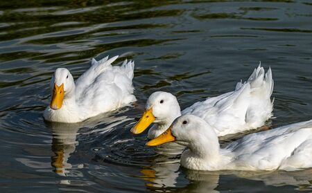 White heavy  pekin ducks looking for food
