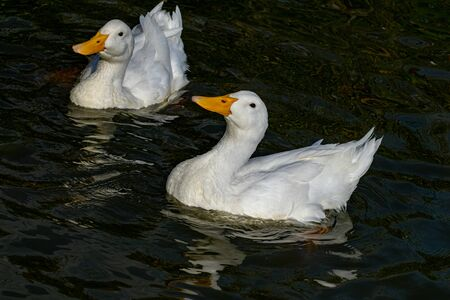 Comical curious looking white pekin ducks