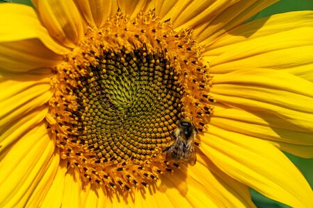 A bumblebee with pollen stuck to fur on a sunflower head