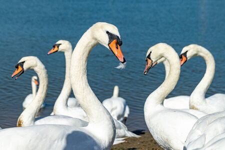 Mute swans (cygnus olor) on the River Crouch at South Woodham Ferrers, Essex, UK
