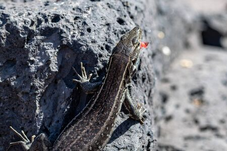 Female la Palma wall lizards (Gallotia galloti palmae) on volcanic rock Stockfoto