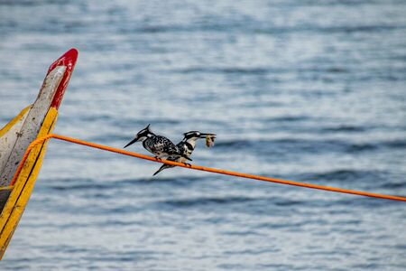 Two pied kingfishers (Ceryle rudis) perched on a mooring line, one with fish prey, Lake Victoria, Uganda