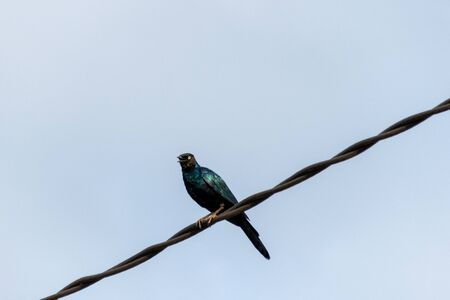 Greater blue-eared glossy starling on telephone wires, Entebbe, Uganda