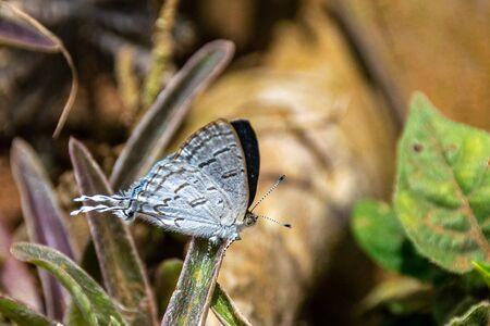 Small light blue butterfly with tail, Purple-brown Hairstreak(hypolycaena philippus philippus) in Masaka, Uganda
