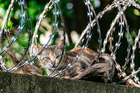 Sleeping safely, stray tabby cat resting amongst metal security barbed fencing Stockfoto