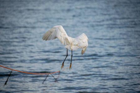 Little egret (Egretta garzetta) coming into land Stockfoto