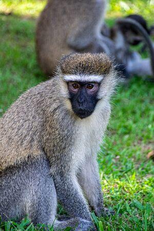 Vervet monkey (Chlorocebus pygerythrus) in Entebbe, Uganda