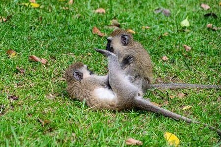 Rough and tumble as vervet monkey (Chlorocebus pygerythrus) play, Entebbe, Uganda