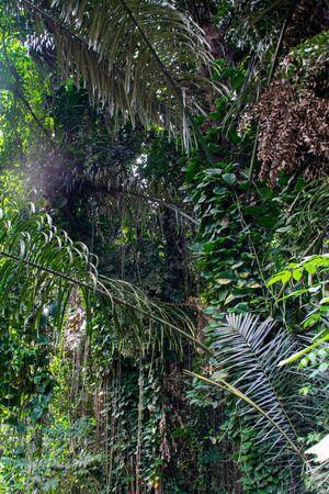 Rainforest tree vines in Entebbe, Uganda the location for first Tarzan movie film