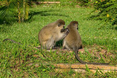 Vervet monkey (Chlorocebus pygerythrus) Stockfoto
