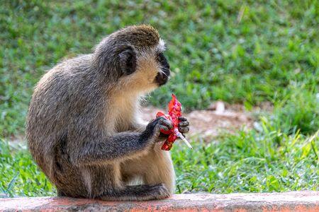 Vervet monkey (Chlorocebus pygerythrus) eating a discarded sweet lollipop
