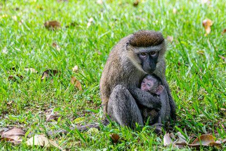 Vervet monkey (Chlorocebus pygerythrus) with newborn baby, Entebbe, Uganda