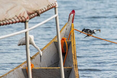 Two pied kingfishers (Ceryle rudis) perched on a mooring line, one with fish prey with a little egret looking on, Lake Victoria, Uganda, East Africa Stockfoto