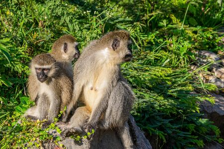 Family of vervet monkeys in early morning sunlight, Entebbe, Uganda, East Africa
