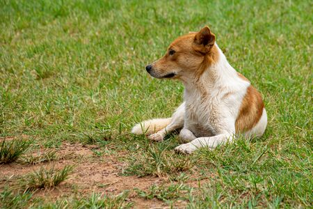 Gold and white dog resting on grass lawn