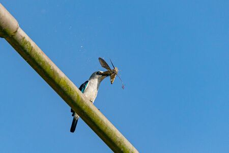 Woodland kingfisher (Halcyon senegalensis) perched on a metal post with tiger moth prey with fluff from the moth blowing in the wind in Entebbe, Uganda