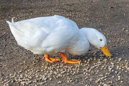 White american pekin ducks (also known as long island or aylesbury ducks) eating bird food pellets