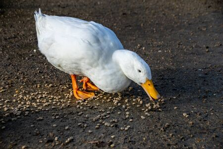 White american pekin ducks (also known as long island or aylesbury ducks) eating bird food pellets