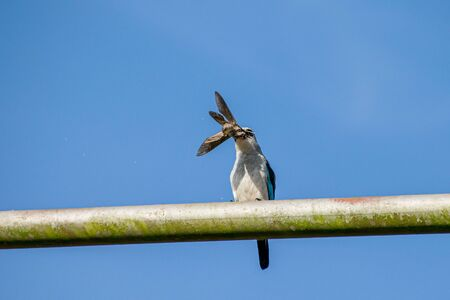 Woodland kingfisher (Halcyon senegalensis) perched on a metal post with tiger moth prey in Entebbe, Uganda